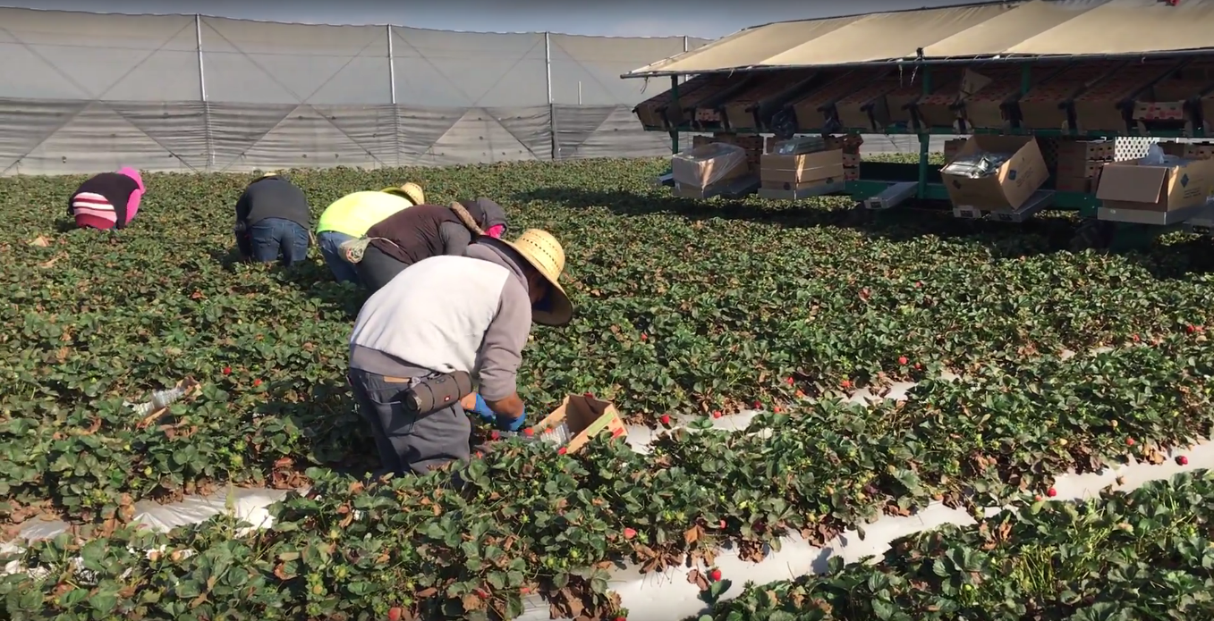 stawberry harvest workers