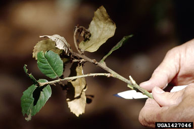 Dying leaves indicative of sudden oak death