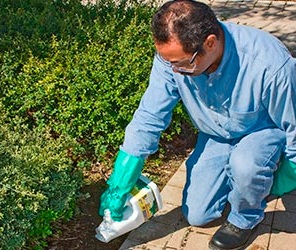 Man applies pesticide to bushes
