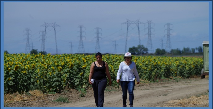 Researchers walk down the edge of a sunflower field in Yolo county