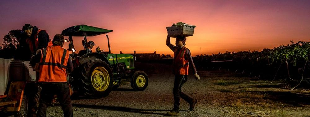 Farmworker carries container of grapes on his head during an early morning grape harvest at UC Davis