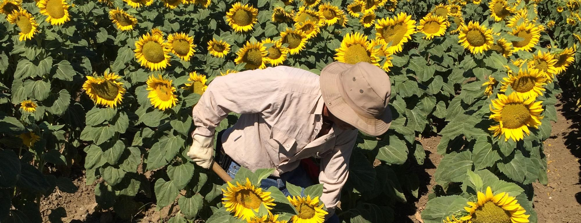 Man tending to sunflower crop in large field of yellow sunflowers