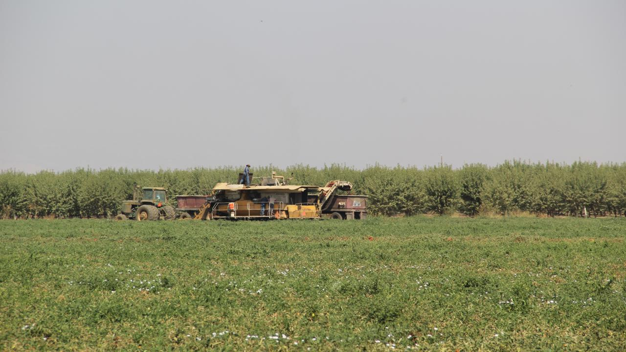 Fruit being harvested at Rominger Farm