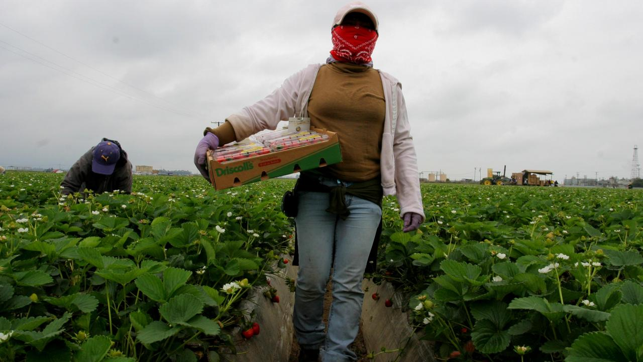 Farmworker Harvesting Strawberries