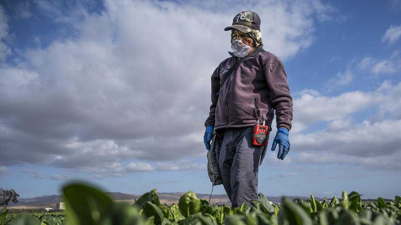 Farmworker harvests spinach