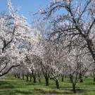 Blooming almond orchard
