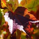 Grape vine with autumn leaves