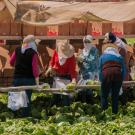 Women farmworkers harvest lettuce in Watsonville, California.