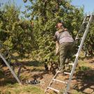 Farmworkers using ergonomic ladder designs to harvest tree fruit