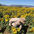 Farmworker shoveling in sunflower field
