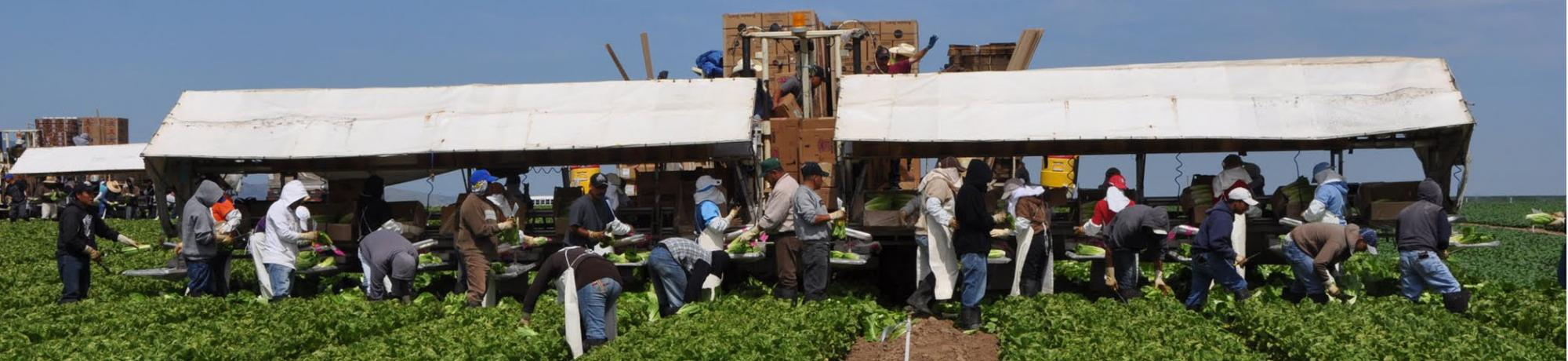 Farmworkers harvesting lettuce in the field and packing into boxes for transport
